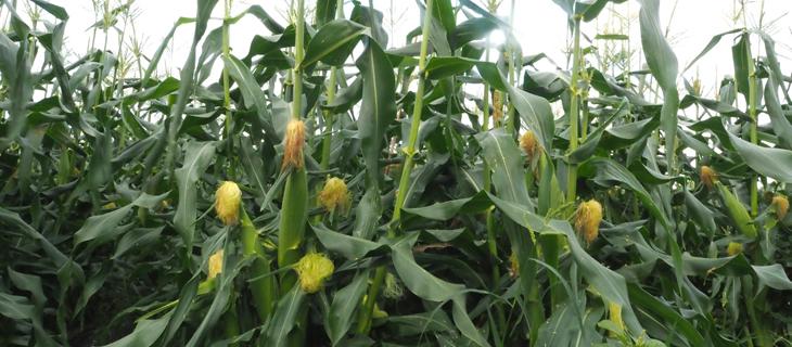 """""""付加価値の高い農業を目指して"""" 種子にプラズマを照射したスイーツコーン 収穫作業リポート!"""