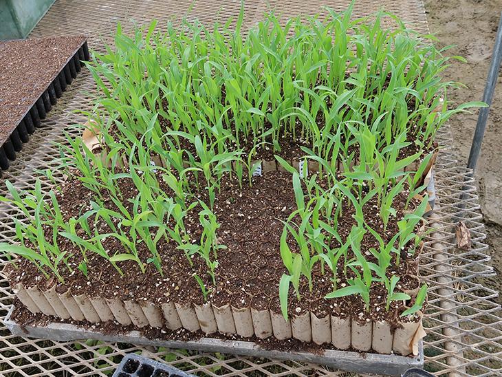 [電気工学科]古賀市特産スイーツコーンの種子にプラズマを照射 発芽した苗の定植が完了!